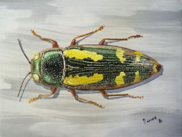 Buprestis rufipes by CharlesNissen