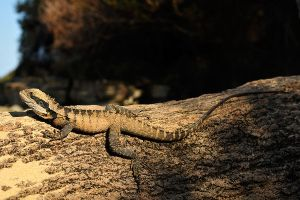 Water dragon 1 by wildplaces