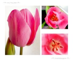 My tulips are growing older by coloriatempera