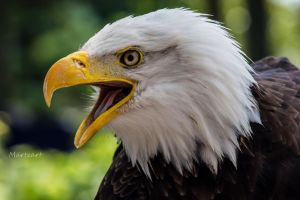 Bald Eagle - portrait by Martzart