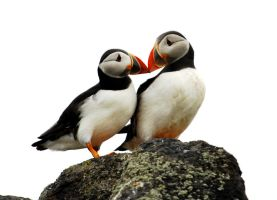 Puffin Pair by Shadow-and-Flame-86