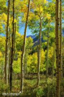 Softness in the Aspens by mjohanson