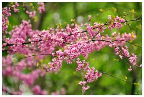 Cercis by IrisErelar