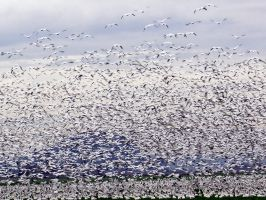 More Snow Geese by j-dub