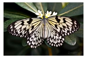 Black and white butterfly by Kalarm