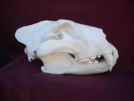 African Lion Skull Side View by Minotaur-Queen