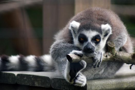 Ring Tailed Lemur by aworldofpossibilitie