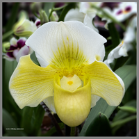 Yellow orchid square by Mogrianne
