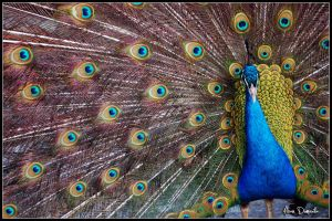 Close up's Peacock by pouzy