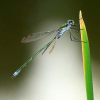 damselfly III by indojo