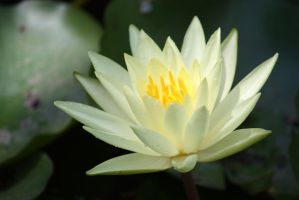 Water lily 411 by fa-stock