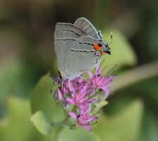 Hairstreak Butterfly by Laur720