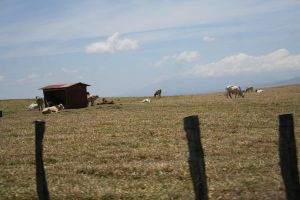 cows. by albinomintoreo
