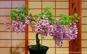 Bonsai Wisteria by La-Vita-a-Bella