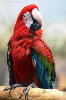 Red Feathers by Sagittor