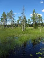 Swamp and old pines II by Wolverica