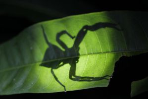 Spider on leaf by Hotenttotta