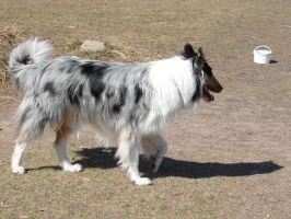 Blue Merle Collie Rough Coat by FantasyStock