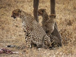 cheetah family by eocjtlels