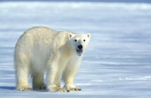 Polar Bear 03 by catman-suha