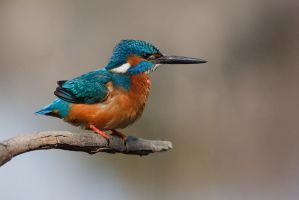 Kingfisher by l1ster