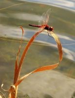 Red Veined Pennant by Fail-Avenger
