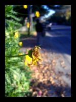 another yellow flower. by ohshrubbery