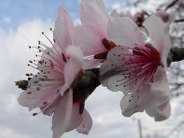 Peach Blossoms ver.1 by XiaAmane