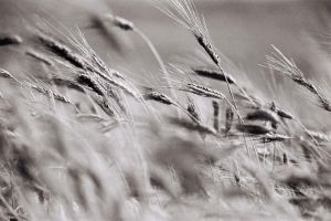 Wheat by JACAC