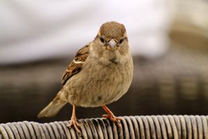 Seeside sparrow. by pagan-live-style