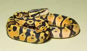 Pastel royal python 4 stock by AngiWallace
