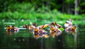 Duckling Gang by m-eralp