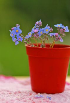 Forget-me-not by Nietra