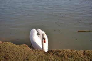 swan1 by d0gma