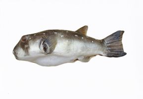 Fish from Gambia on white background by slingeraar