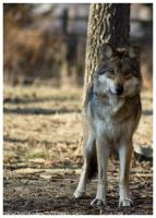 Mexican Wolf 039 by ShineOverShadow