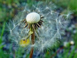 dandelion in the wind by andi40