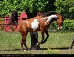 bay overo arabian 15 by venomxbaby