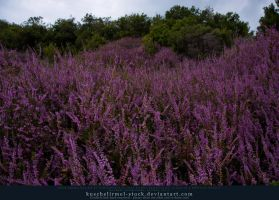 Purple Flowers by kuschelirmel-stock