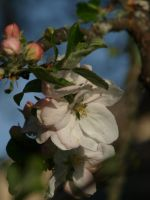 Apple Blossom 15 by botanystock