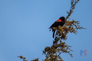 Red Wing Black Bird by MastersImagingPhotos
