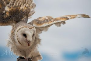 Barn Owl in the wind by MarkGreenmantle