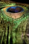 peacocks feather by ssilence