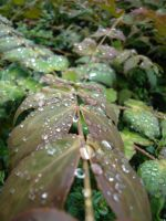 Rain Drops on Leaves 02 by Tech-Dave