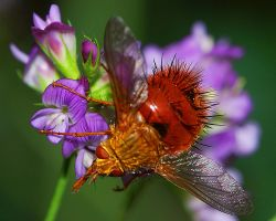 Red Hairy Snake Tongue Bee by greenunderground