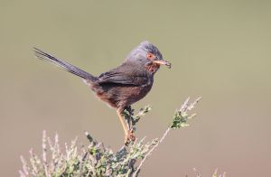 Cheeky bum -Dartford Warbler by Jamie-MacArthur