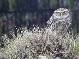 Little Owl 2 by lauratje86