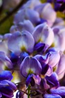 Wisteria Up Close With Ant by tbeam3472