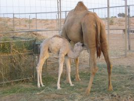 Young Dromedary by Trojaner93