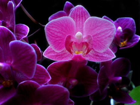 dark orchid by Kahristo